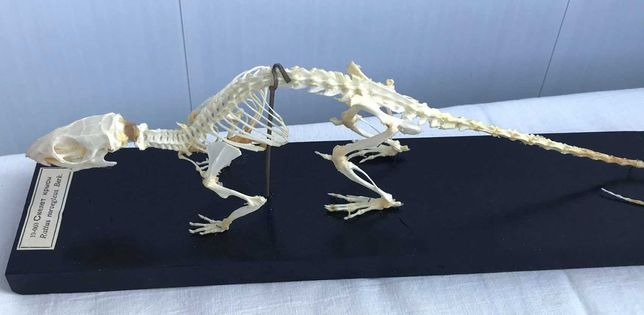 Объемная модель Скелеты хордовых Скелет крысы (Rattus rattus)