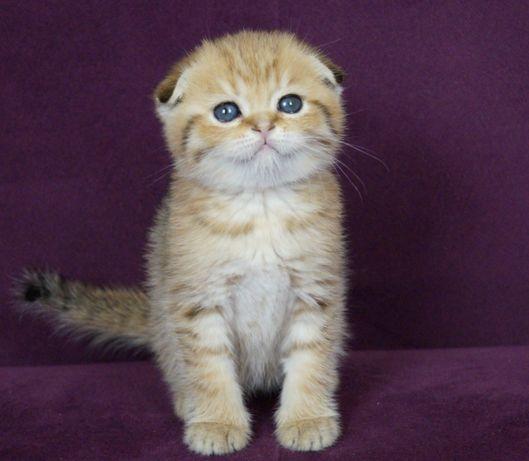 Вислоухий шотландский котик Бантик.