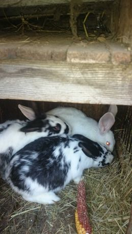 Кроли .молодняк- кролики кроличка