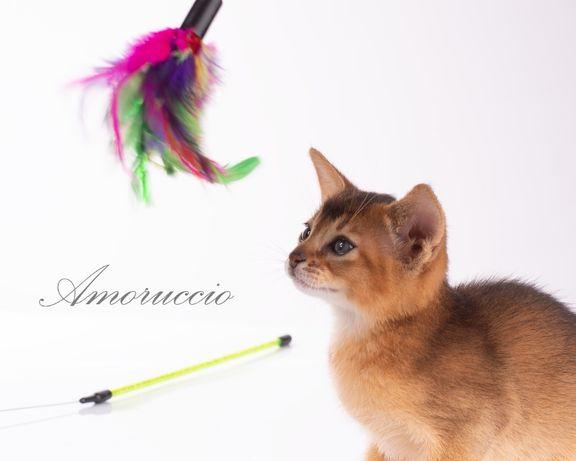 Абиссинские котята! Бронь!!!