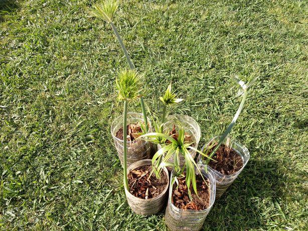 Plantas de papiro para jardins ou lagos