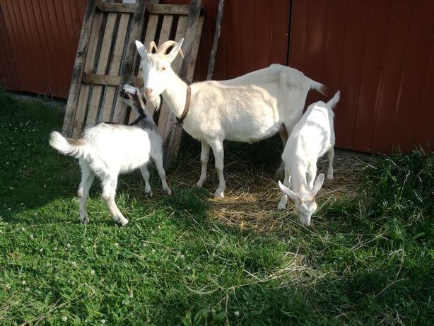 Sprzedam mlode kozy
