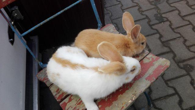 Srokacze Niemieckie różne kolory młode króliki, pary niespokrewnione
