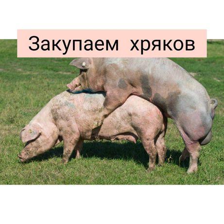 Свиноматки хряки