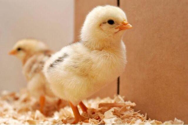Цыплята Бройлера КОББ-500 круглогодично с доставкой
