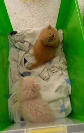 Gatos persa puros