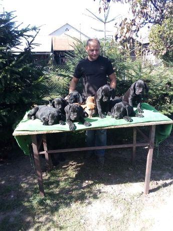 cane corso szczeniaki szczenięta zapowiedz miotu
