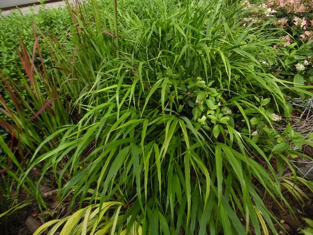 Hakonechloe Macra BENI KAZE piękna zielona trawa bambusowa