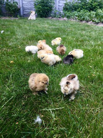 Pisklęta, kurczaki Silka - Rezerwacja do niedzieli