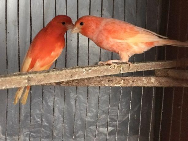 Ярко красные канарейки