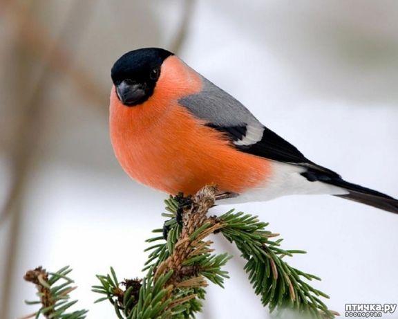 Снегири * снігур * певчие птицы