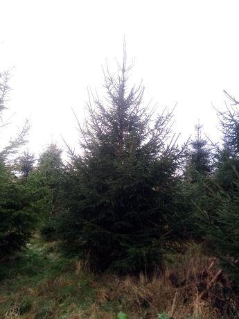 Wysokie świerki, drzewka bożonarodzeniowe