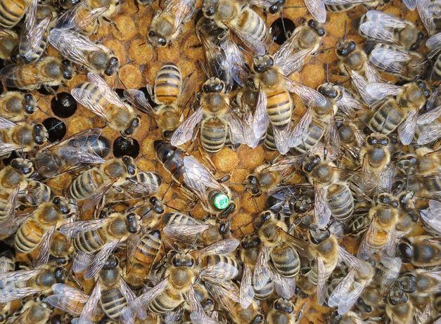 Подам пчеломаток Карника Прима F1 (не плодные)