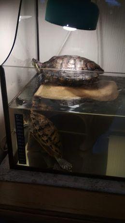 Продам пару взрослых красноухих черепах с террариумом