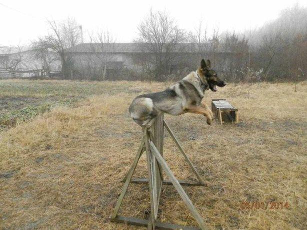 дресирування собак дрисіровка собак дресирувати собак