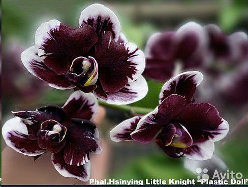 Орхидея Фаленопсис Пластик Долл Сумы - изображение 1