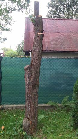 Drzewo owocowe śliwka renkloda - do ścięcia -aktualizacja !!