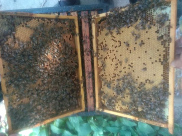 Rodziny pszczele odkłady ramka WP matki BUCKFAST czerwiące od repr.