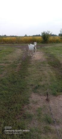 Продам коза ламанча