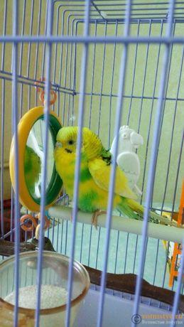 Хвилясті папугаї. Самці та Самки
