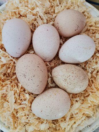 Ovos galados perua pata galinha