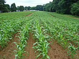 семена кукурудзи на попкорн: сорт «Гостинец»