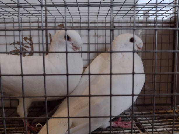 Gołębie belgijskie krótkodziobe
