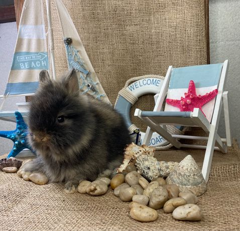 Karzełek teddy na już zarejestrowana hodowla miniaturka króliczek