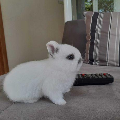 KIT completo coelhos anões mini holandês e angorá muito dóceis