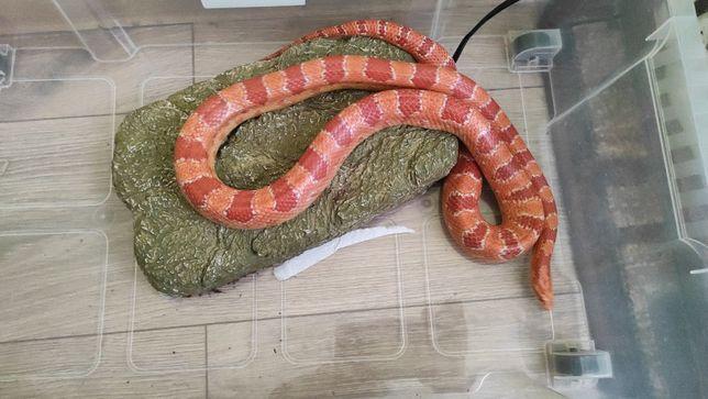 Wąż zbożowy Dorosła samica amelanistic