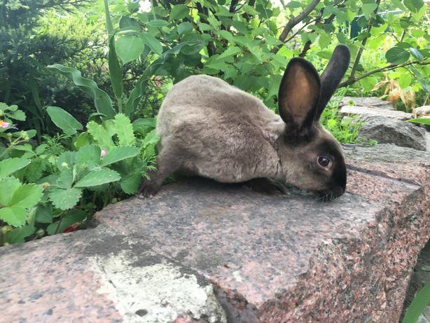 Кролик Рекс Мардер