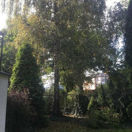 Drzewo brzoza za wycinkę