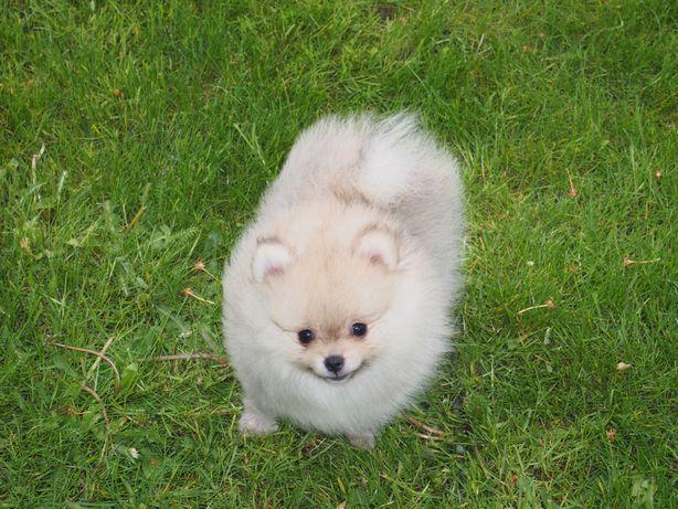 *Pomeranian mini typ. misia z rodowodem 3 szczepienia i wścieklizna*