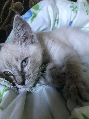 Котенок в самые добрые руки (окрас сиамская, колор пойнт)