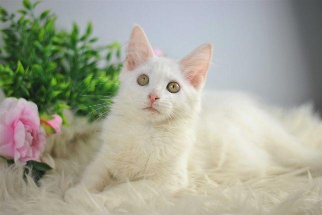 Alicja śliczna rodowodowa koteczka