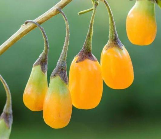 Plantas de goji amarelo e vermelho