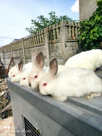 króliki kalifornijskie samica z 5tką młodych