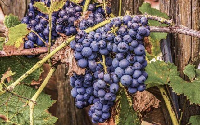 Winogron winogrona idealne na wino