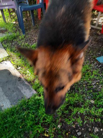 Найдена потерявшаяся собака Немецкая овчарка.