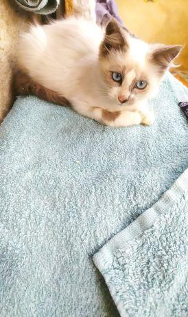 Котик сноу-шу в добрі руки