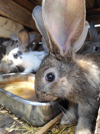 Продам кроликов, Помесь Фландерса -серого великана