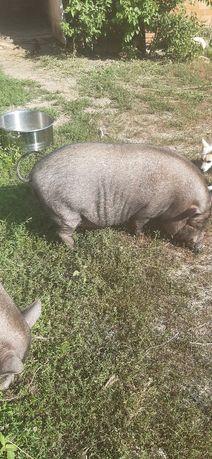 Продам вьетнамских свиноматок