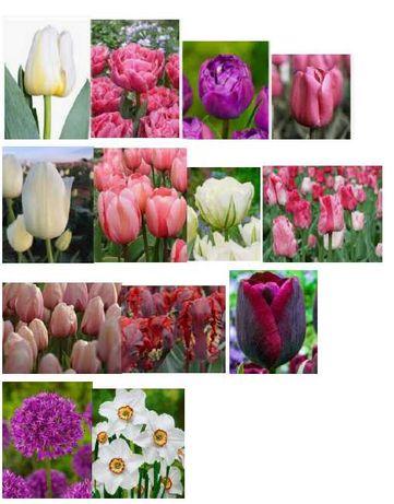 cebulki tulipanów, narcyzów i czosnków ozdobnych - różne odmiany