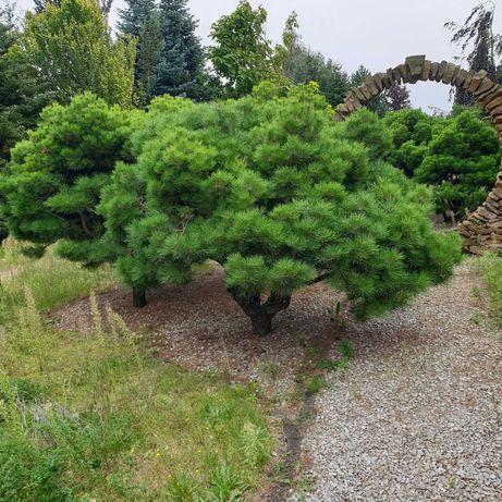 Kosodrzewina Sosna górska Bardzo piękne okazy Bonsai