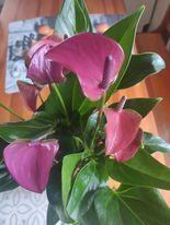 kwiaty ogrodowe zamienię anturium ananas patyczak