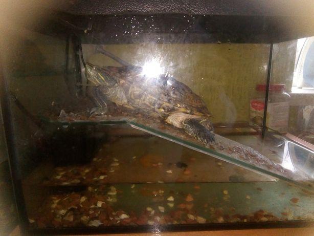 Продам красноухую черепаху с террариумом