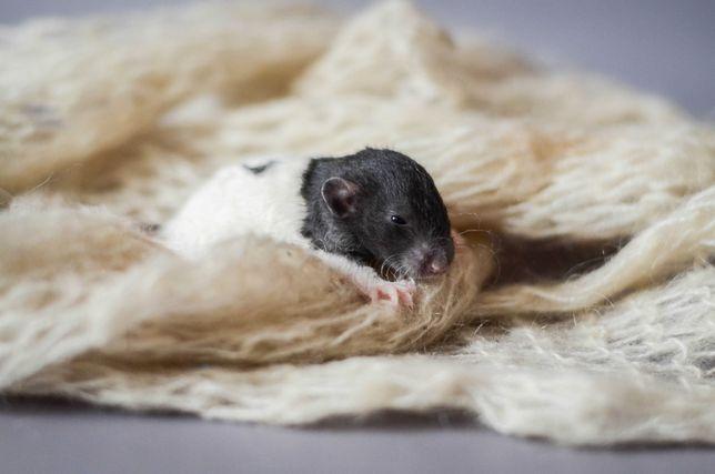 крысята из питомника