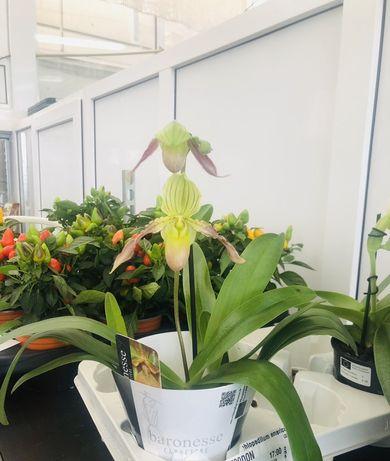 Продажа орхидей,орхидея