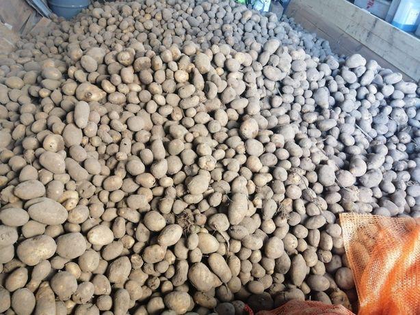 Sprzedam ziemniaki katania
