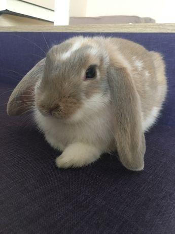 Кролик декоративный, вакцинированый, с паспортом